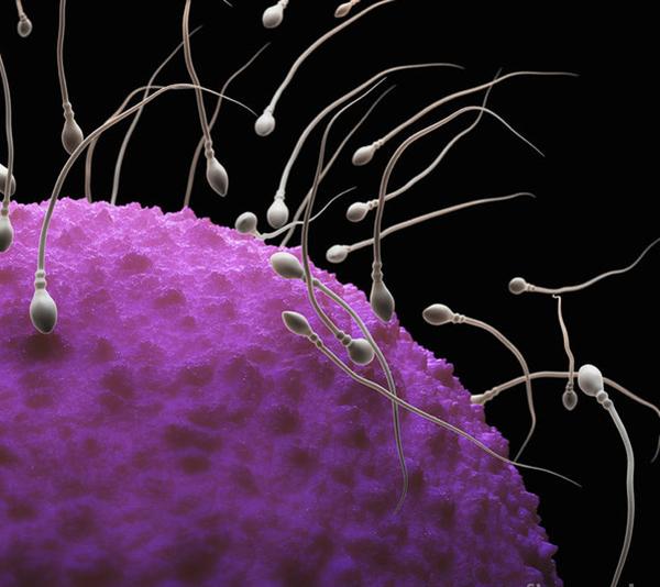 Ty thể điều chỉnh hoạt động acrosin, phản ứng cực đầu và tính toàn vẹn nhiễm sắc chất của tinh trùng