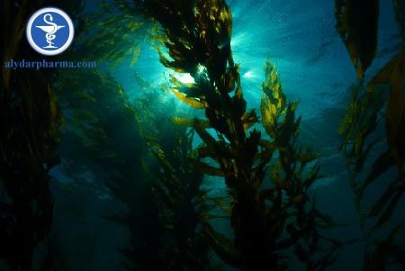 Fucoidan là một chất có trong tảo nâu như Mozuky, Mekabu, Kombu,…