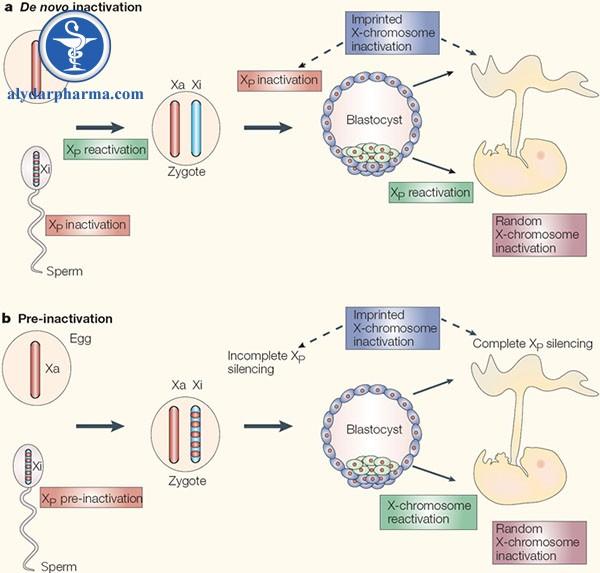Hình 3. Hai mô hình bất hoạt X.a) Mô hình bất hoạt de novo đòi hỏi nhiều vòng bất hoạt và tái hoạt hóa : dòng mầm của bố bắt đầu giảm phân nhiễm sắc thể X bất hoạt nhưng sau giảm phân lại hoạt hóa lại. Hợp tử nhận 2 X hoạt động đầy đủ và bắt đầu bất hoạt lại X của bố (XP) ở giai đoạn 4 – 8 tế bào. Ở các dưỡng bào (blue), XP vẫn giữ trạng thái im lặng, tương đương với sự bất hoạt in dấu. Ngược lại, ICM còn một lần X tái hoạt hóa nữa trước khi bước vào bất hoạt ngẫu nhiên lần cuối cùng. b) Trong mô hình tiền bất hoạt, hợp tử cái nhận một XP bất hoạt cục bộ (pre-inactivation) và duy trì trạng thái bất hoạt suốt giai đoạn trước khi làm tổ. Sự bất hoạt lan tỏa ra và bất hoạt hoàn toàn ở các mô ngoài phôi. Chỗ này chứng minh cho bất hoạt in dấu. Ngược lại, ICM còn một lần X tái hoạt hóa nữa trước khi bước vào bất hoạt ngẫu nhiên lần cuối cùng.