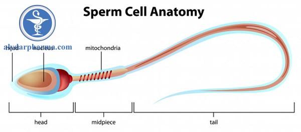 Chuột Wistar khi tiếp xúc với sóng điện thoại làm giảm hoạt tính protein kinase C và số lượng tinh trùng bị apoptosis cao, thay đổi chu kỳ tế bào tinh trùng